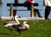 Two geese in park Royalty Free Stock Photography
