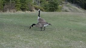 Two geese at a park in northern canada. Canada geese as seen in the springtime at banff, alberta stock footage