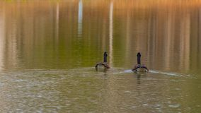 Two Canadian Geese swimming on the pond surrounded by beautiful. Two geese on a pond surrounded by the reflection of fall colors Royalty Free Stock Photos