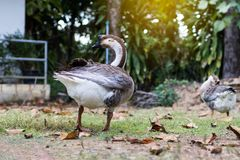 Two geese relax near the tall trees. stock photography