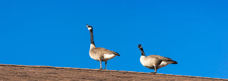 Two geese on a roof Royalty Free Stock Photos
