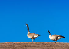 Two geese on a roof Stock Images