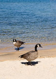 Two geese by shore of lake Royalty Free Stock Photos