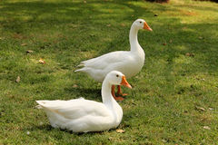 Two Geese Pose Stock Photo