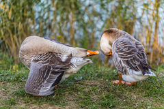 Two geese Royalty Free Stock Photography