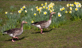 Two geese on spring flowers background Royalty Free Stock Photography