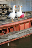 Two geese stand along Royalty Free Stock Photos