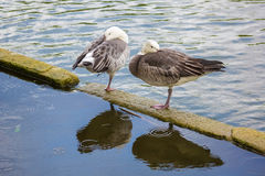 Two geese stand on one leg. Stock Photos