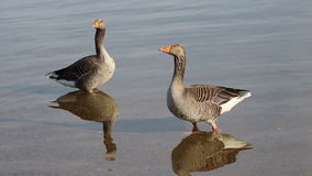 Two geese standing in a lake. stock video