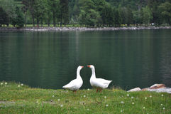 Two geese standing near a lake Stock Photos