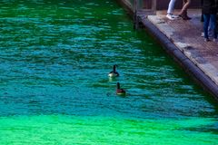 Two geese swim on a dyed green Chicago river while fun-seekers gather on riverwalk. During St. Patricks Day royalty free stock photos