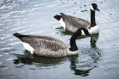 Geese swimming in a lake stock images