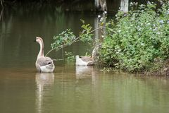 Two geese swimming in the lake royalty free stock photography