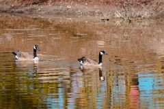 Two geese swimming in the water at the Frederik Meijer Gardens stock photography