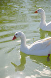 Two geese swimming in the water. Geese swimming together in a pond. Gander, waterfowl, poultry, domestic avian Royalty Free Stock Image