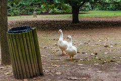 Two geese on their way to a trash can Royalty Free Stock Photography