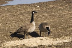 Two geese use some food people provide Stock Images