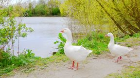 Two geese - walk as they please. royalty free stock photo