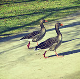 Two geese walking with vintage effect Royalty Free Stock Image