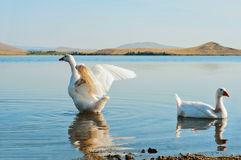 Two geese on water. Two geese swimming on water and spreading wings Stock Photo