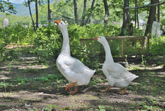 Two geese 2 Stock Images