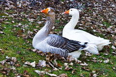 Two geese. White and grey on a valley Royalty Free Stock Image