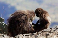 Two gelada baboons Theropithecus gelada in Debre Libanos royalty free stock photos