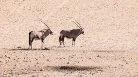 Two gemsbok antelopes, Oryx gazella, standing in the dry dusty desert, Namibia, Africa Stock Images