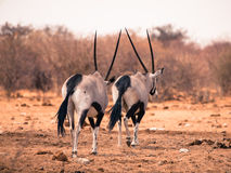 Two gemsbok antelopes walking away Royalty Free Stock Photos