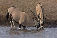 Two Gemsbok standing at waterhole Royalty Free Stock Image