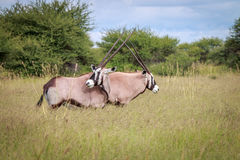 Two Gemsboks standing in the grass and bonding. Two Oryx standing in the grass and bonding in the Central Kalahari, Botswana Stock Photo