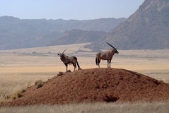 Two Gemsbuck antelope in Namib desert Stock Photos