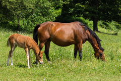Two generations pretty brown horse. Royalty Free Stock Photo