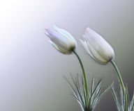 Two gentle snowdrops Stock Images