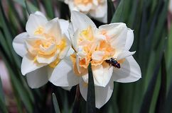 Two black beetles with red stripes sitting on two white flowers royalty free stock image