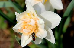 Two black beetles with red stripes sitting on two white flowers royalty free stock photo