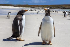 Two Gento Penguins close-up in the Falkland Islands-4 Stock Images