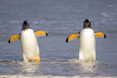 Two Gentoo Penguins coming in from fishing Royalty Free Stock Images