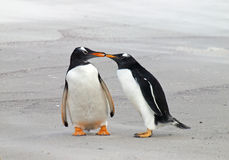 Two Gentoo Penguins Royalty Free Stock Photos