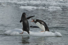Two Gentoo Penguins Royalty Free Stock Images