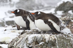 Two Gentoo penguins in the snow 1. Two Gentoo penguins are sitting on nests in the snow 1 stock image