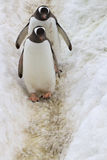 Two Gentoo penguins walking along a trail 1 Stock Photos