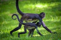 Two Geoffroy`s Spider Monkeys walking Royalty Free Stock Image