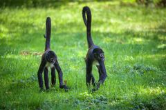 Two Geoffroy`s Spider Monkeys walking royalty free stock photography