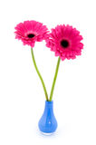 Two gerber in blue vase royalty free stock photography