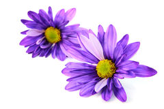 Two Gerber  flowers Royalty Free Stock Photos