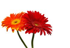 Two gerber flowers. Isolated over white background Stock Photo