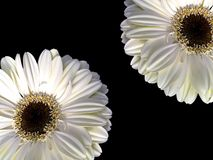 Two gerbera. Two white gerbera flowers over a dark background as wallpaper Stock Photography