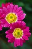 Two Gerbera Daisies. Close-up of two beautiful gerbera daisies stock images