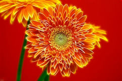 Two Gerbera Daisies. Two beautiful gerbera daisies with red background royalty free stock photos